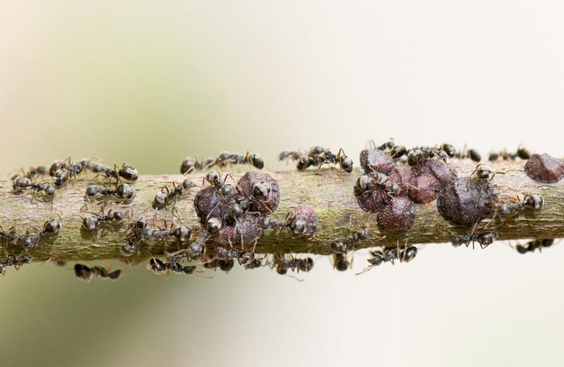 Каким бывает социальный паразитизм у муравьев?