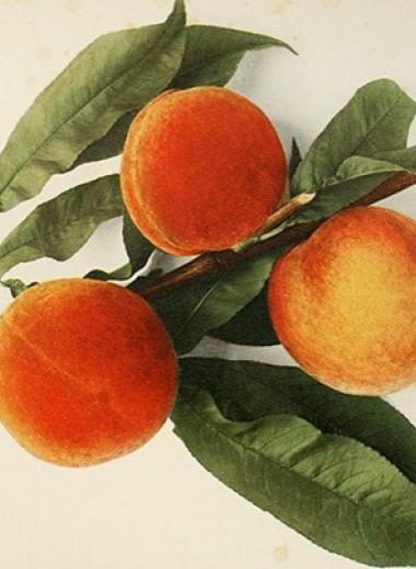 Электронный нос определил зрелость персиков на дереве