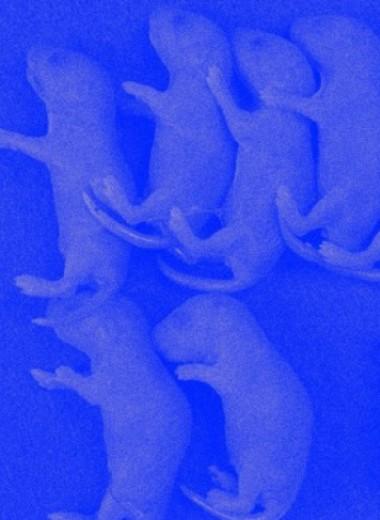 Пересадка стволовых клеток от одного стерильного самца другому восстановила фертильность мышей