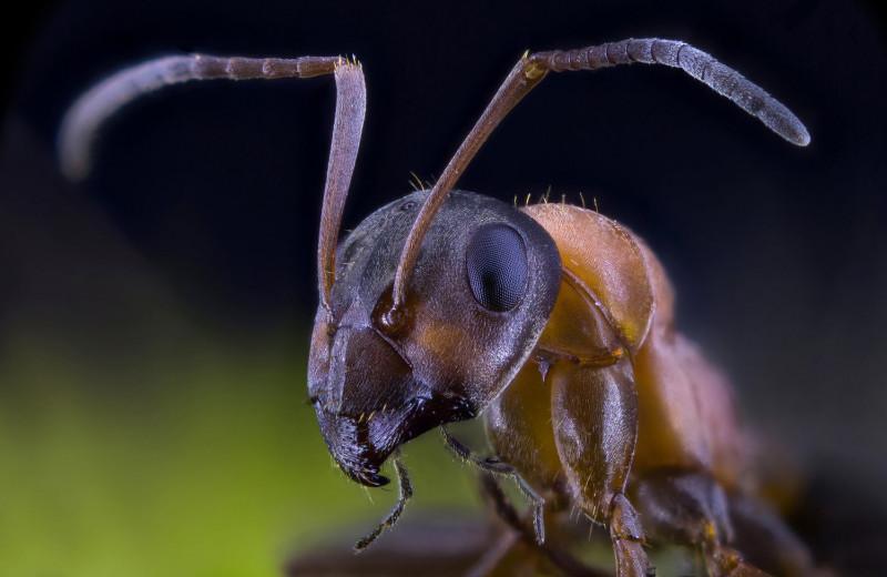 Королевский поединок: как муравьи определяют матку