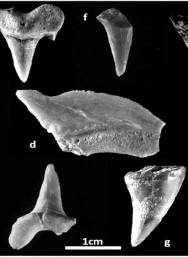 В Городе Давида найдены окаменелые зубы акул