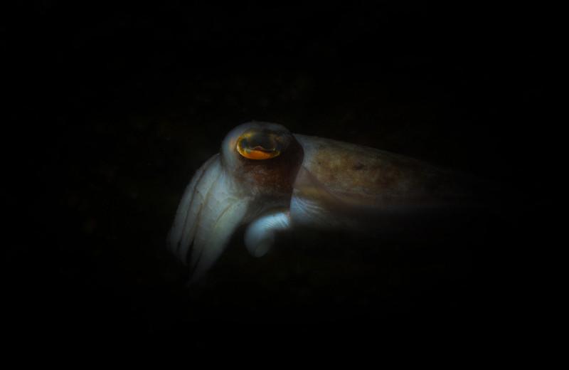 Неуловимые глубоководные кальмары попали на видео