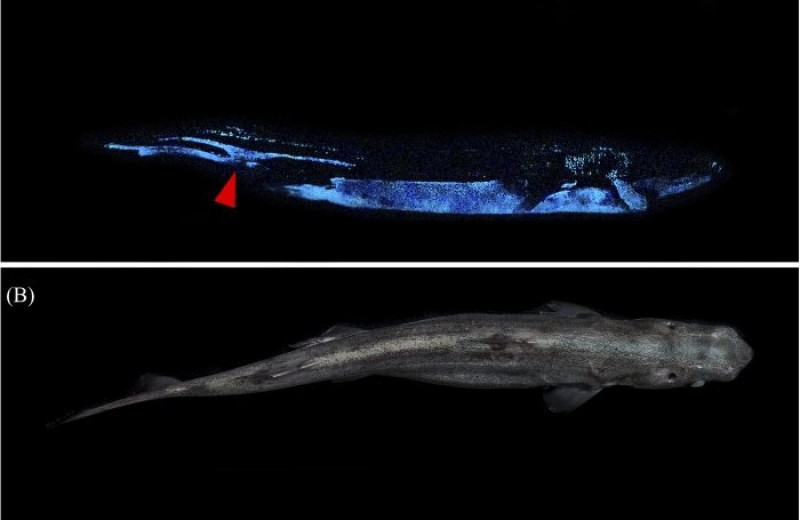Найдена самая большая в мире светящаяся акула
