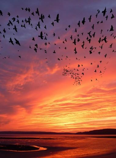 Стая птиц – как одно целое: что такое мурмурация