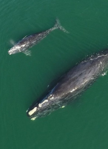 У вымирающих северных гладких китов родилось 14 китят