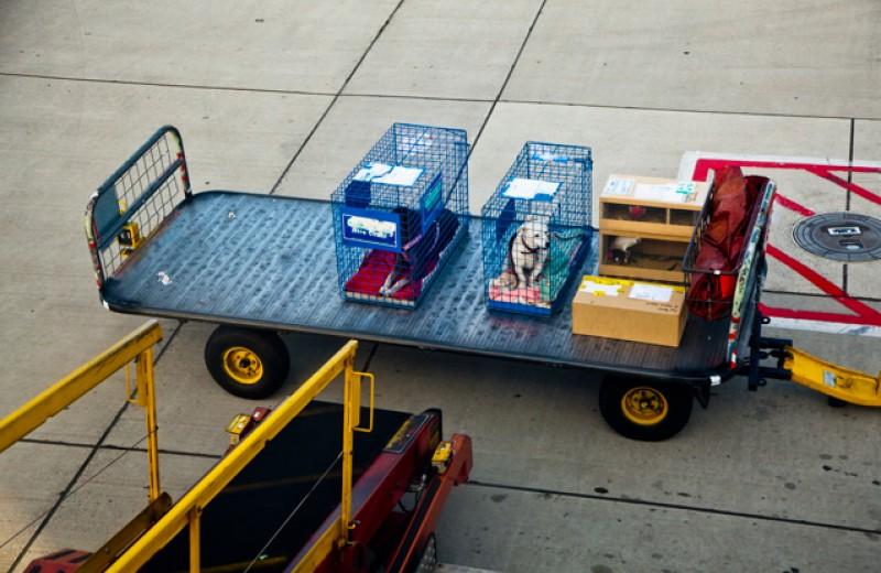 Разбор полетов. Хозяин толстого кота Виктора о проблемах транспортировки домашних питомцев