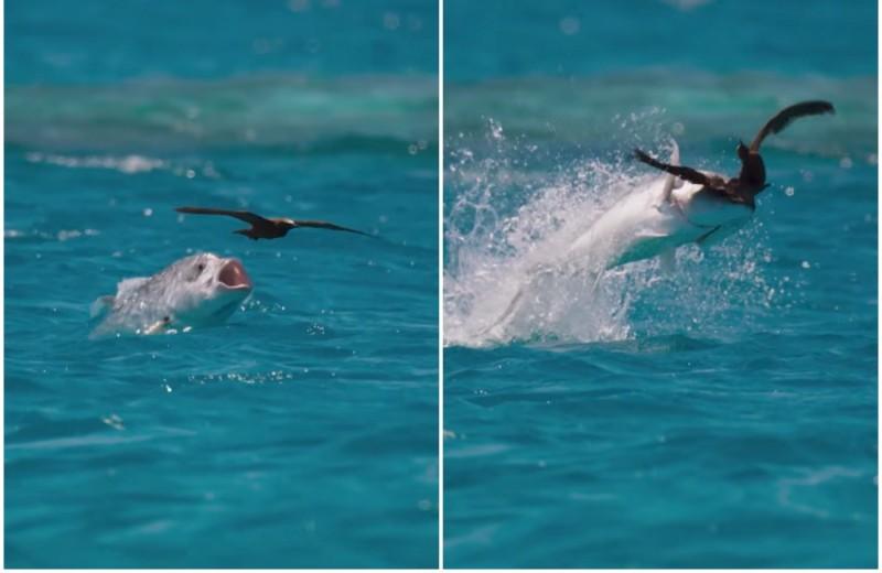 Рыба ловит птицу: удивительное видео Blue Planet II
