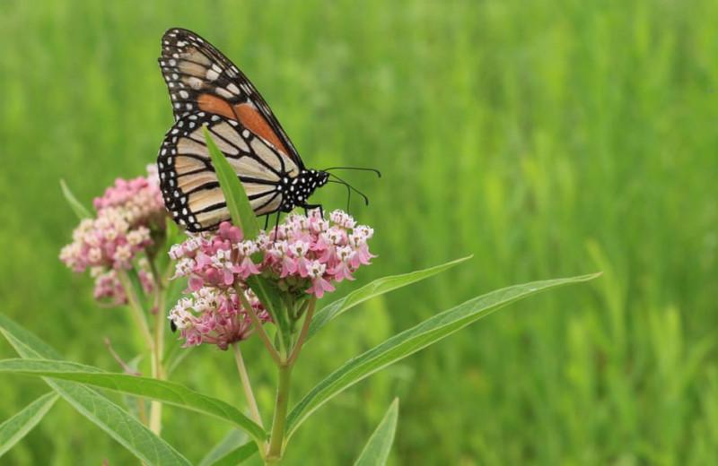 Калифорния представила глобальный план спасения бабочек-монархов от ичезновения