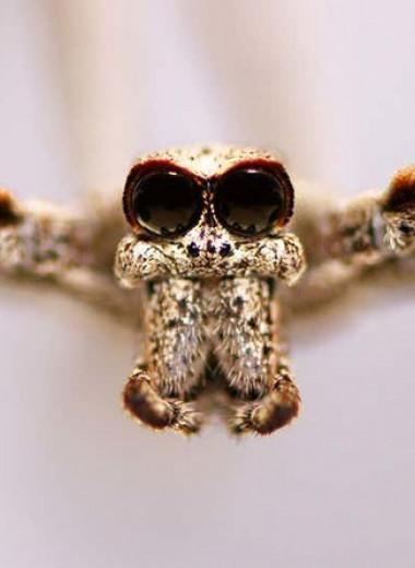 Пауки-дейнопиды услышали жертв ногами