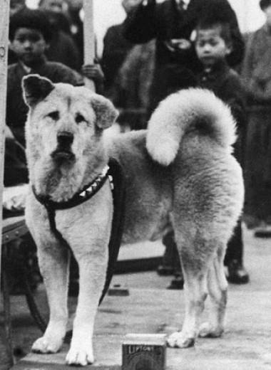 Как выглядел настоящий Хатико: редкие фотографии