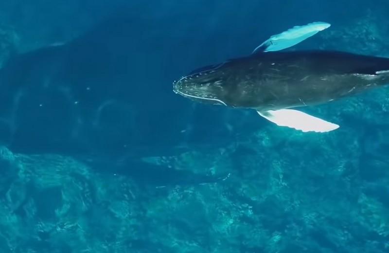 Горбатые киты кормят детенышей молоком: редкое видео