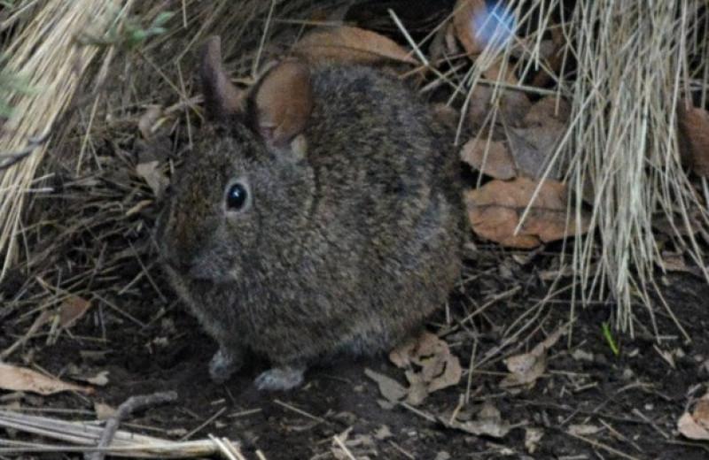 Выпас скота и близость поселений навредили вулканическим кроликам из Мексики