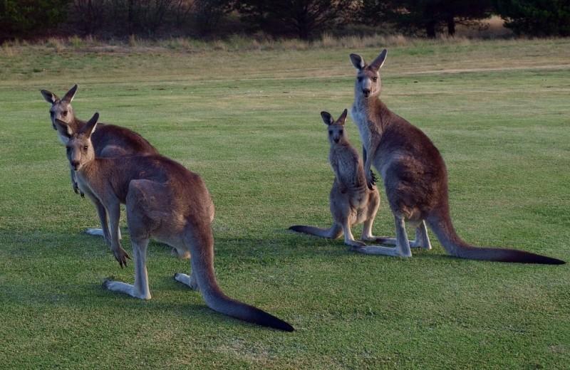В Австралии начался массовый отстрел кенгуру
