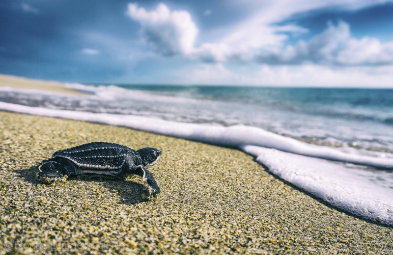 Боятся ли морские черепахи ураганов?