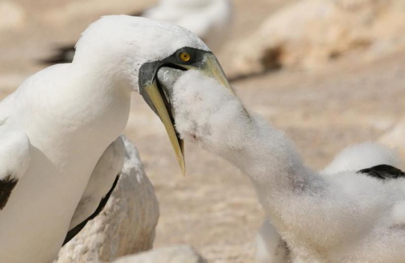 Птицы с острова Вознесения и летучие рыбы подтвердили существование ореолов Эшмола