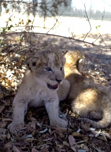 Первые львята, рождённые благодаря искусственному осеменению: фото и видео