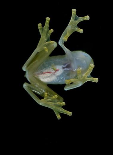 Зачем стеклянным лягушкам прозрачная кожа?