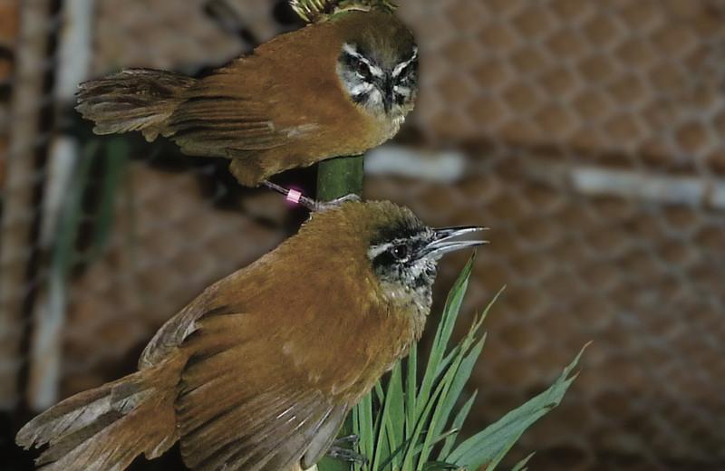 Птицы-крапивники раскрыли секрет идеальных отношений