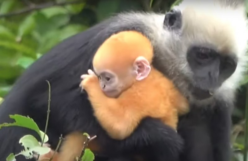 У китайских белоголовых лангуров появились «золотые» детеныши: видео