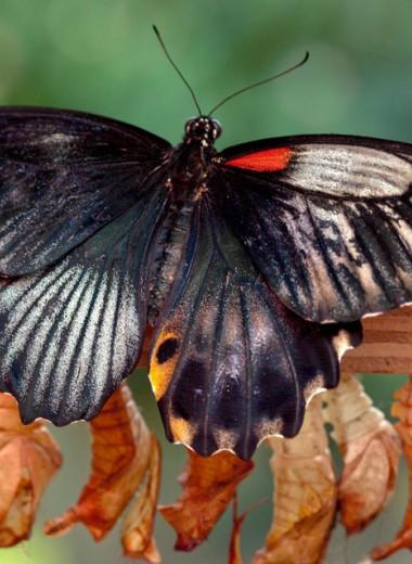 Найдена страна, где обитает больше всего видов бабочек