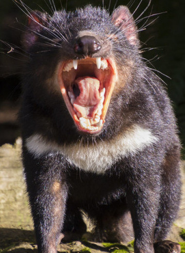 Завезенные на австралийский остров тасманийские дьяволы погубили колонию пингвинов
