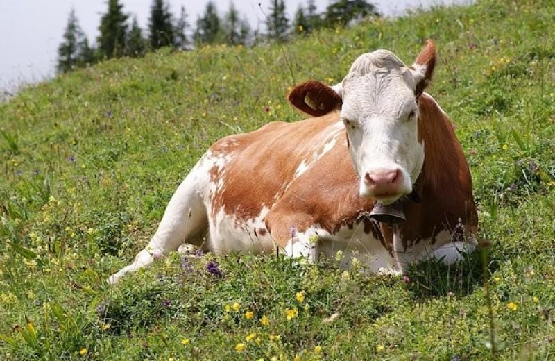 Ученые проследили за бездействующими коровами