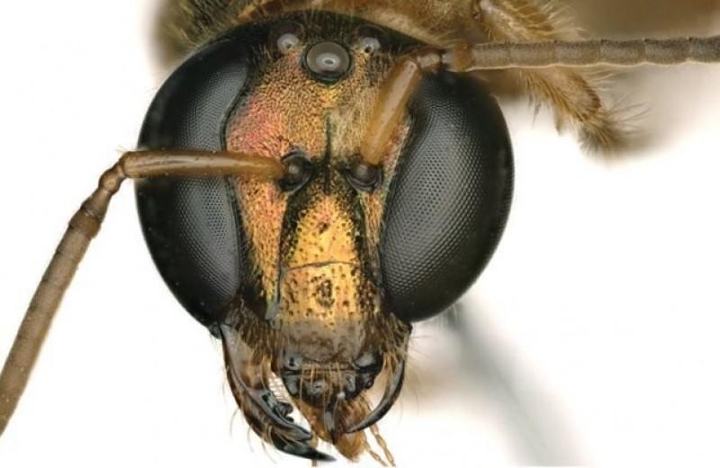 В Панаме нашли пчелу — наполовину самца и наполовину самку