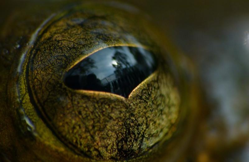 Размер лягушачьих глаз связали со средой обитания и суточной активностью