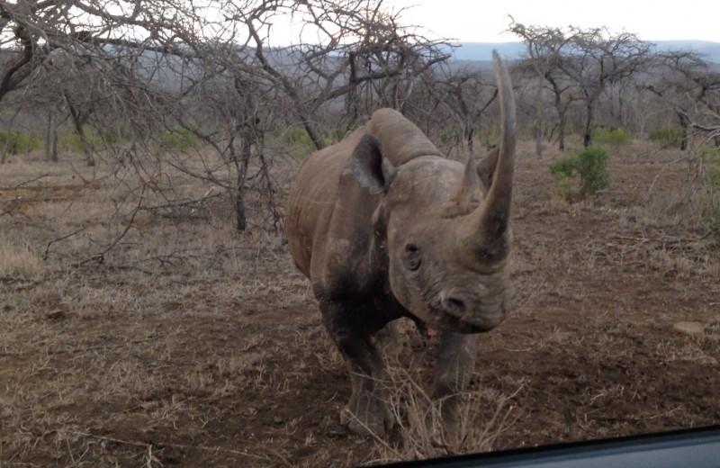 Носорог бросается на машину с туристами: видео