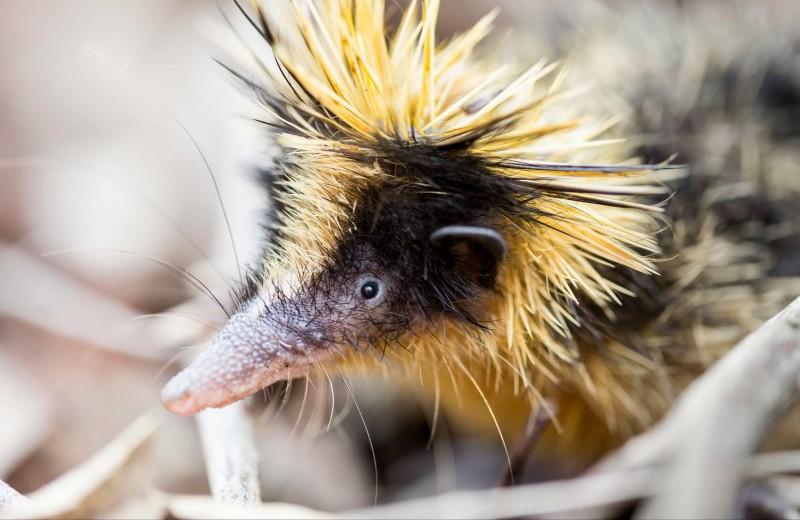 Полосатый тенрек: колючий житель Мадагаскара