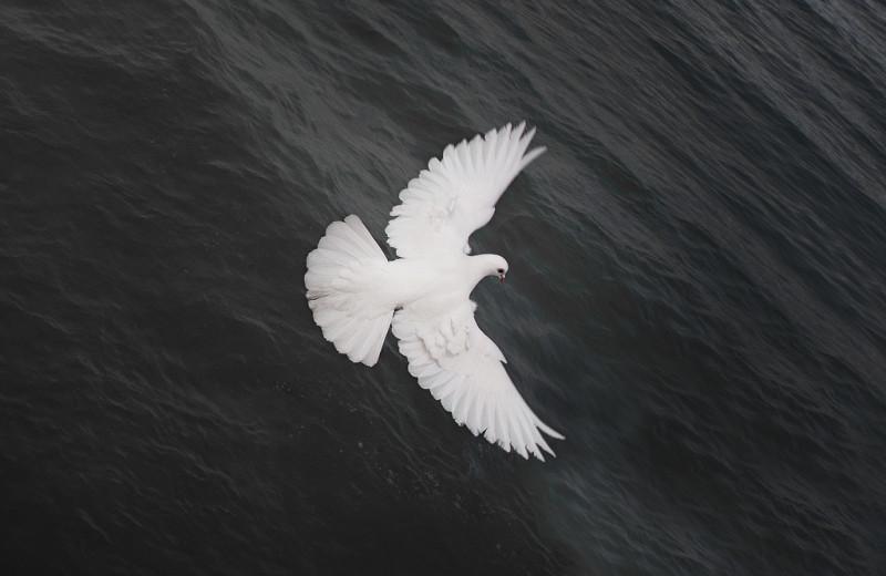 10 удивительных фактов о голубях: они совсем не глупые и не грязные