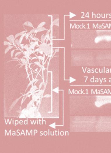 Противомикробный белок защитил цитрусовые от бактериальной инфекции
