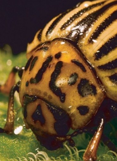 Изменение климата оказалось выгодным для насекомых-вредителей