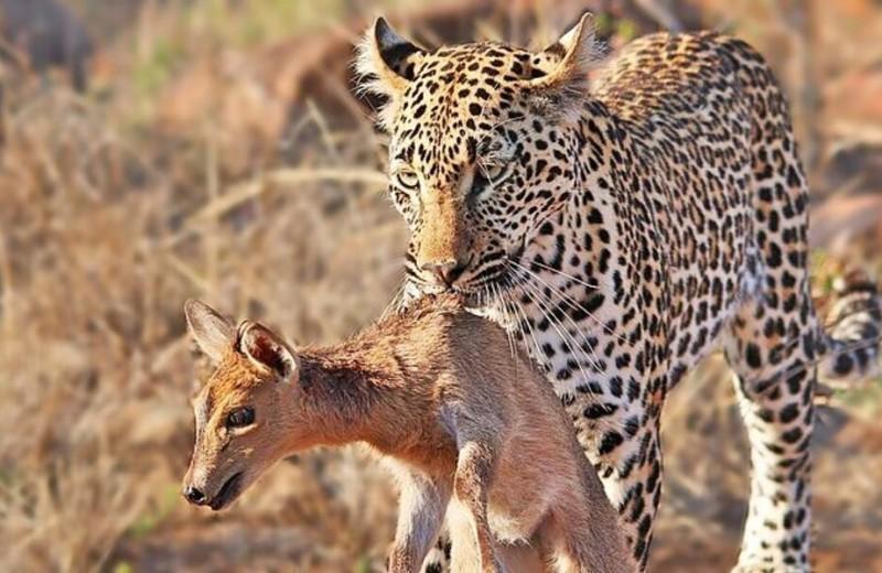 Забава для хищника: леопард поймал детеныша антилопы