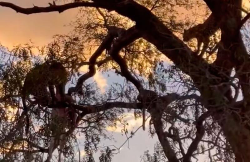 Пятнистая потасовка: леопарды дерутся за чужую добычу