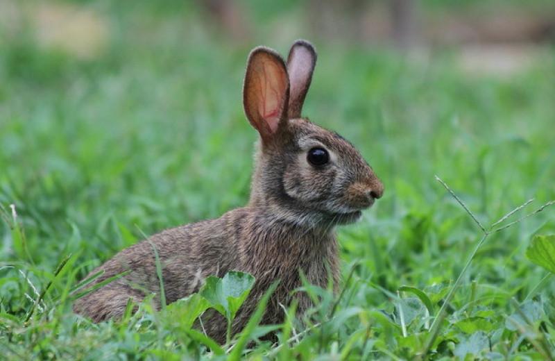 Американских кроликов не удалось одомашнить из-за их асоциальности