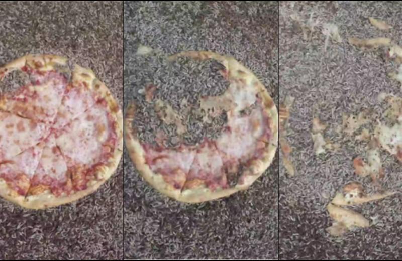 Ученые накормили личинок пиццей: видео