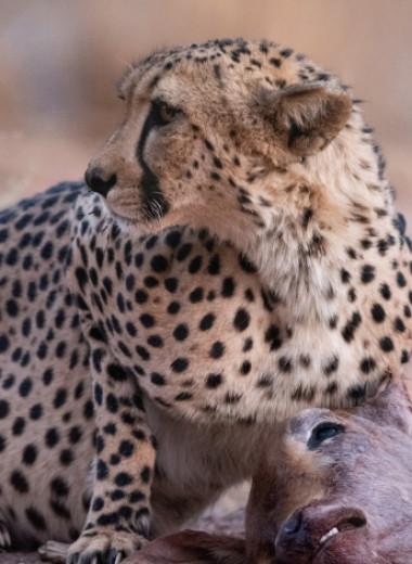 Изучение повадок гепардов помогло сократить потери скота на 86%