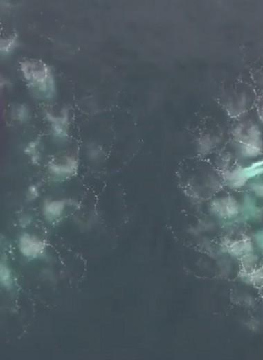 Как киты охотятся с пузырьковыми сетями: видео