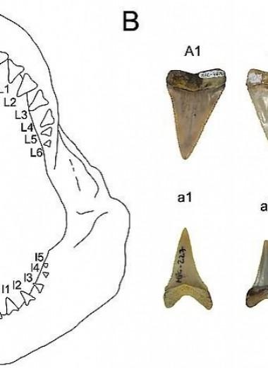 В Чили обнаружили древнейшие ясли больших белых акул