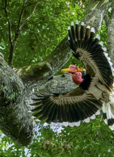Шлемоклювые калао: кто спасет птицу-носорога?