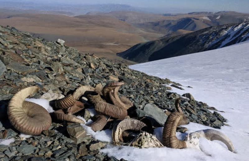 Растаявший ледник в Монголии обнажил останки архаров и древнее оружие