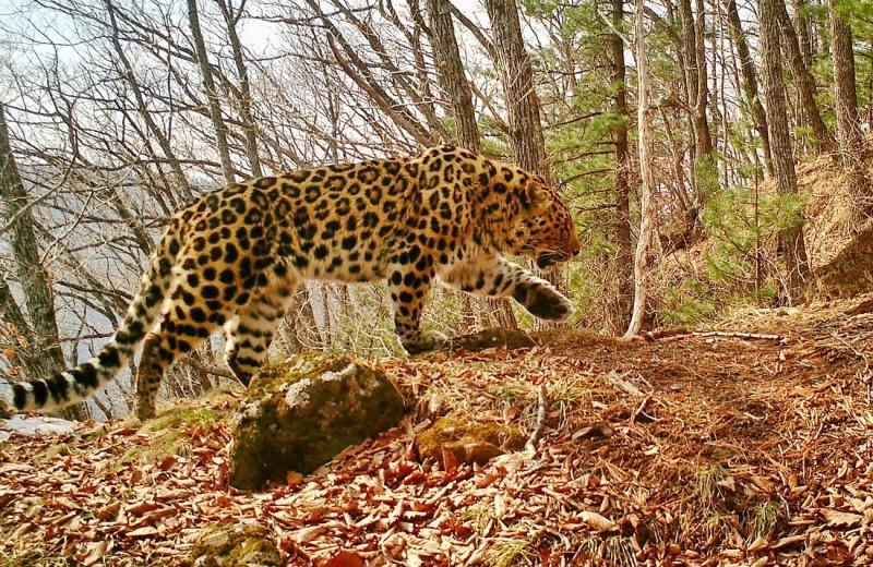 Численность самой редкой большой кошки растет благодаря российской «Земле леопарда»