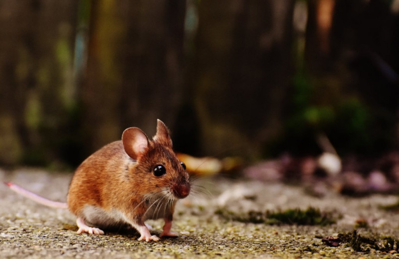 Жизнь в клетках с игрушками и тоннелями надолго повысила индивидуальность мышей