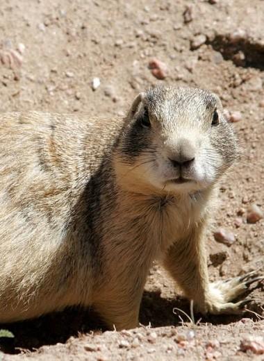 Травоядные луговые собачки оказались серийными убийцами