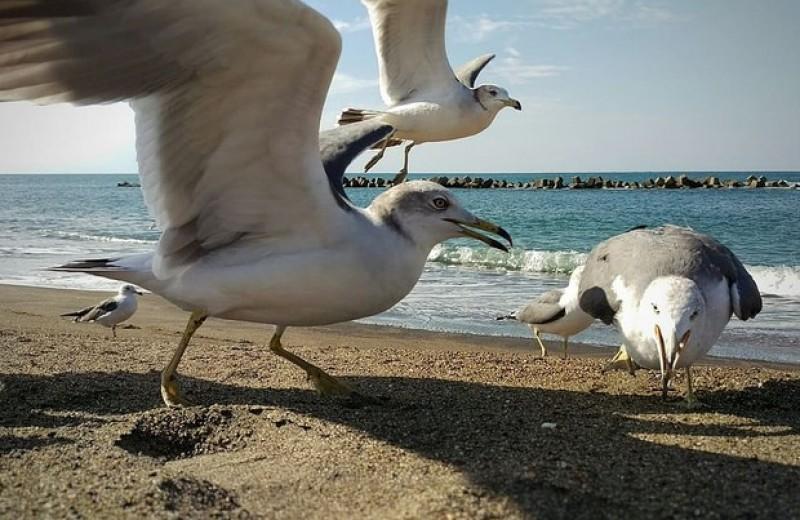 Чайки предпочли освоенные людьми районы