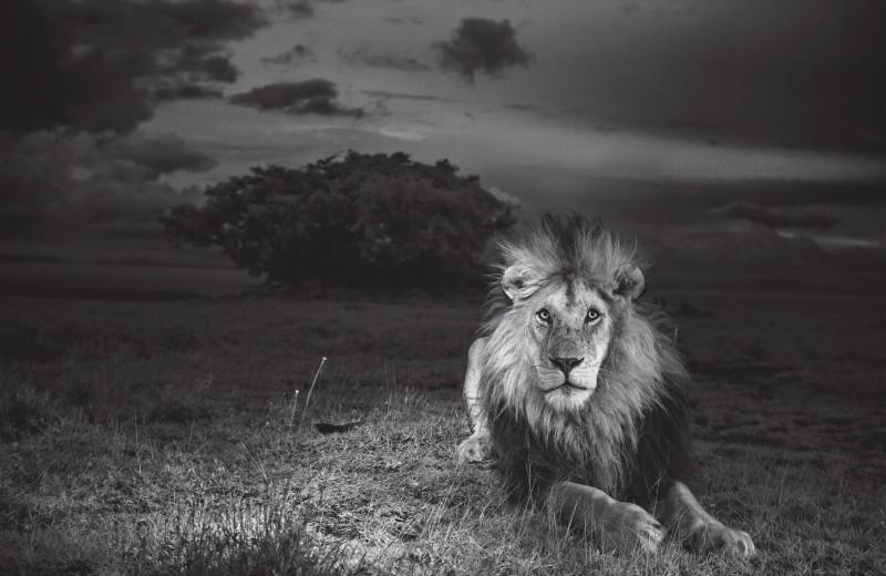 Отважный Си-Бой: элегия льву-долгожителю