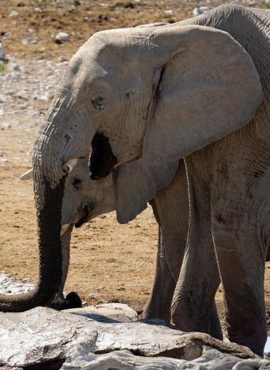 Разработка нефтяного месторождения угрожает 130 000 слонов в Африке