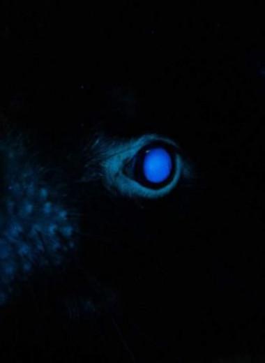 Тасманийские дьяволы светятся в ультрафиолете