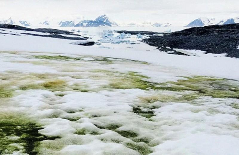 Потепление позволит зеленым водорослям продвинуться вглубь Антарктиды